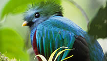 Quetzal in Boquete