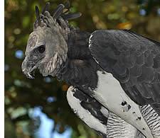 L'aigle harpie, oiseau national du Panama